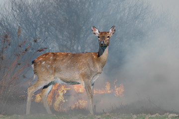 Deer on a background of burning forest