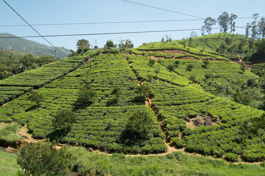 The country side surrounding Adams Peak is covered with tea plantations.
