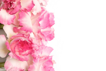 Spoed Fotobehang Azalea Pink and white azalea flowers Soft focus The concept of beauty and tenderness On a white background