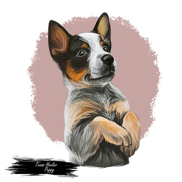 Texas Heeler Puppy crossbred herding dog isolated. Cross Australian Cattle Dog, Border collie and Australian Shepherd. Digital art illustration of hand drawn pet portrait, puppy head mixed crossbreed
