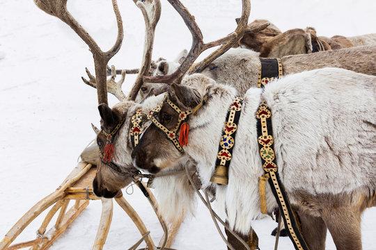 Reindeer in a festive harness