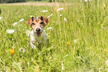 little dog sits in a blooming meadow in spring. Jack Russell Terrier  dog11 years old
