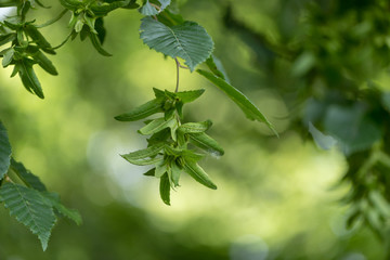 Green Beech tree  in summer in front of blurred background with immature beechnuts