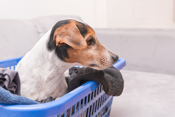 Dog lies in a laundry basket with freshly washed folded and ironed laundry indoor. Jack Russell Terrier 10 years old. Hair type smooth