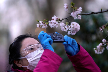 Woman with a protective mask takes pictures of blooming cherry blossoms in Shanghai