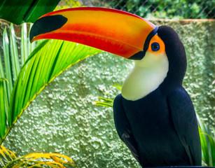 Photo sur Toile Toucan toucan on a branch