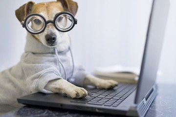 Adorable dog in glasses working with computer. Wearing sporty stylish hoodie. Freelancer work from home during quarantine Social distancing lifestyle. Stay at home. Horizontal composition