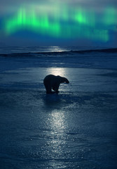 Photo sur Toile Aurore polaire Polar bear with aurora borealis