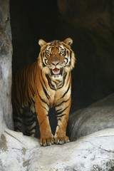 Printed roller blinds Tiger tiger in zoo
