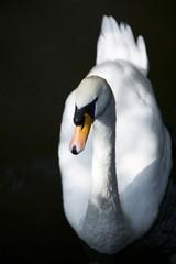 Wall Murals Swan swan on lake