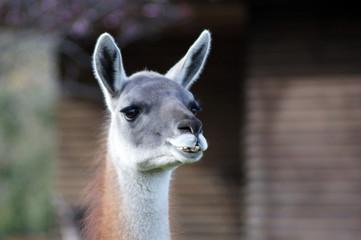 Door stickers Lama Nahaufnahme eines Lama Gesicht mit großen Augen
