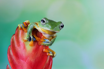 Wall Mural - Beautiful javan tree frog sitting on branch, flying frog lined up on the bridge