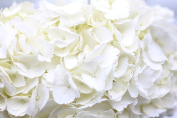 Poster Bloemen white hydrangea floral background, screensaver on your desktop