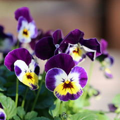 Papiers peints Pansies Purple, yellow and white tricolored pansy flowers in a macro image. You can see multiple, pretty violet flowers in a closeup with soft bokeh background. Colorful springtime flowers. Color image.