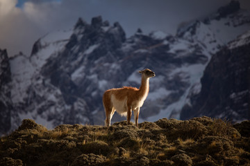 Low angle side view of calm wild herbivore mammal animal llama with white and brown fur on grassed hill against blurred snowy mountains during sunset