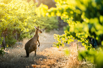 Wall Mural - Vineyard Kangaroo