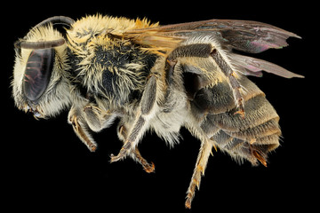 Colletes solidaginis,bee Macro specimen, Flying insect , side front back