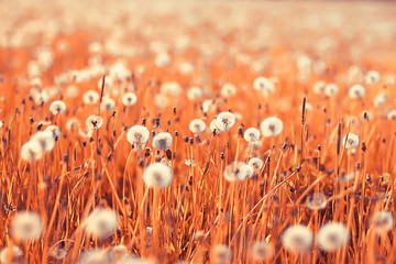 Foto auf Leinwand Rotglühen wild wildflowers field / nature landscape, abstract background view summer flowers details flower
