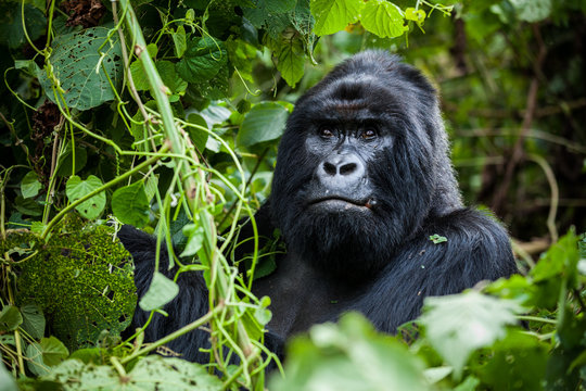 An amazing portrait of an endangered silverback mountain gorilla in wilderness