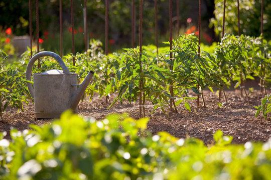 Jardin potager au soleil et arrosoir près des tomates.