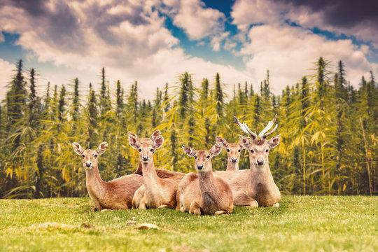 Herd of Deer Sitting on Meadow with Hemp Field on Background
