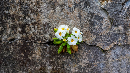 A white primrose plant growing and blooming from the cracks of an old stone wall