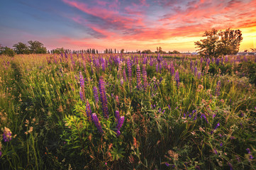 beautiful blue and violet lupines in rural field at sunrise (sunset). natural floral background