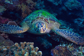Foto op Plexiglas Schildpad sea turtle underwater / exotic nature sea animal underwater turtle
