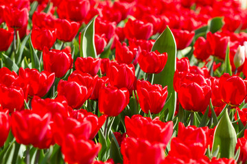 Wall Mural - Bright red tulips