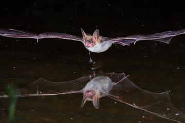 Bechsteins Bat Drinking