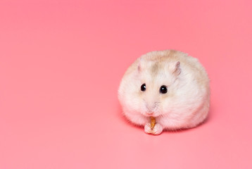 Dwarf fluffy hamster on a pink background close-up, copy space. Wall mural