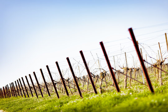 Pfähle in Weinreben im Frühjahr