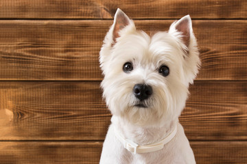 West highland white Terrier sits on a wooden background. Fotobehang