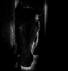 protrait in Black and white of a horse head behind the door of the stable with a backlight