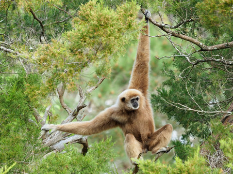 Mature Male White Handed Gibbon Swinging Through the Trees