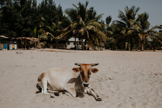 Kuh liegt am Strand am Meer in Gambia Afrika