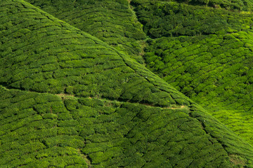 Photo sur Aluminium Vert Beautiful tea plantation Cameron Highland - Pahang Malaysia.
