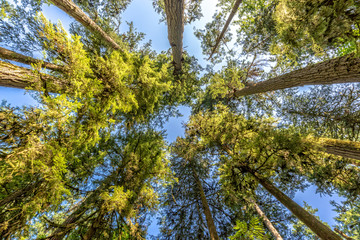 Douglas fir trees from below in Cathedral Grove,  MacMillan Provincial Park, Vancouver island, Bristish Columbia, Canada
