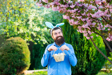 Funny man hunting easter eggs. Happy Easter concept. Man with beard, white ears of rabbit and basket with easter eggs on spring background.