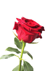 Foto op Textielframe Roses Red rose on a white background, close-up, isolate.