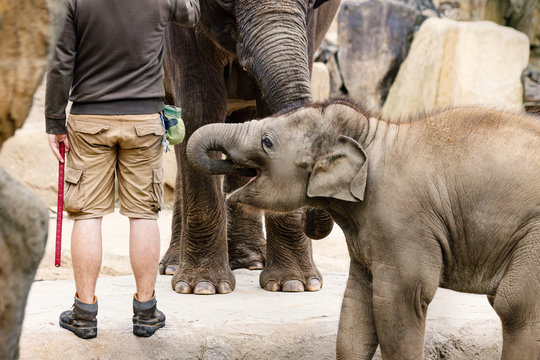 Old and Young Elephants with Animal Keeper in ZOO. Baby Elephant Photo.
