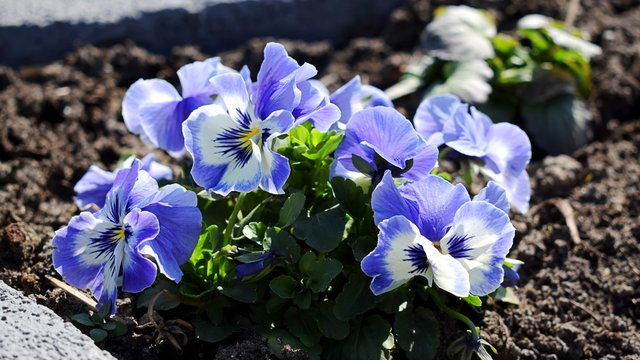 Violet pansies flowers in sunny day