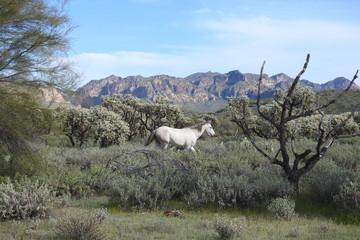 Wild horse roaming the Sonoran Desert, that surrounds the Salt River, in Mesa, Arizona.