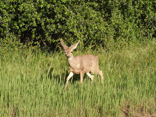 Small mule deer cautiously prancing through the tall grass in the Sequoia National Park, California.