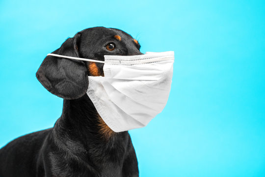 Portrait of a cute sick Dachshund dog, black and tan, wearing white medical mask on a muzzle on a blue background. concept of pet protection