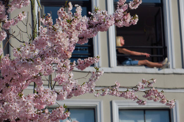 A woman reading a book at her window appears behind a blooming Japanese cherry tree in Lille, as a lockdown is imposed to slow the rate of the coronavirus disease (COVID-19) spread in France
