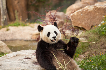 Printed roller blinds Panda giant panda sitting eating bamboo shoots in a zoo
