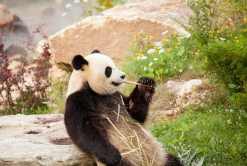 giant panda sitting eating bamboo shoots in a zoo