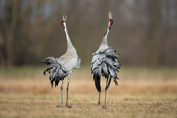 Spring mating dance in the meadow, Common Crane Fototapete