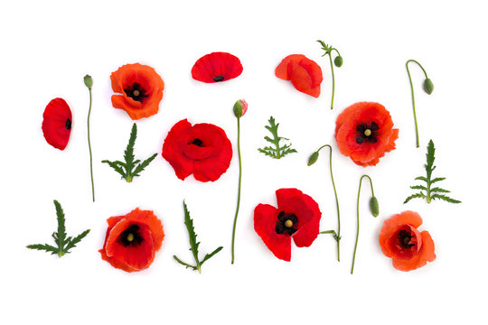 Flowers red poppies ( corn poppy, corn rose, field poppy ) on a white background. Top view, flat lay